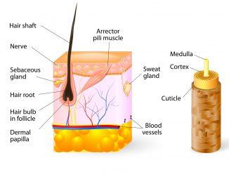 hair-anatomy-dt2