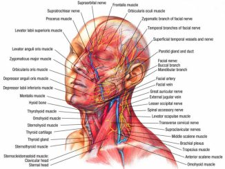 Anatomy Of Head And Neck Muscles Head And Neck Muscle Anatomy Anatomy Human Body - Human Anatomy Diagram