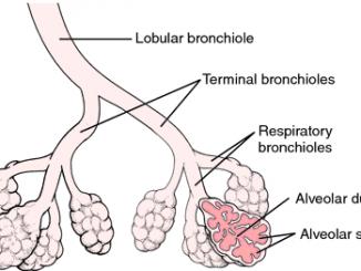 bronchioles