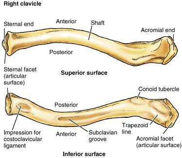 Clavicle Medical Creole