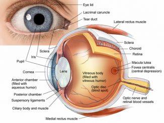 eye_anatomy