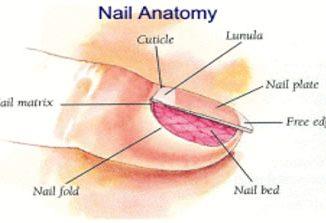 nail-anatomy