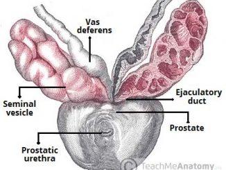 seminal-vesicles